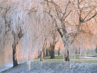 ice-covered_willow_trees