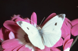 cabbage-moth-cabbage-butterfly-1-sm
